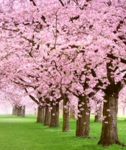Cherry trees in bloom are a sign of spring in Virginia, when you'll want your air conditioning to be serviced and ready for summer's heat and humidity.